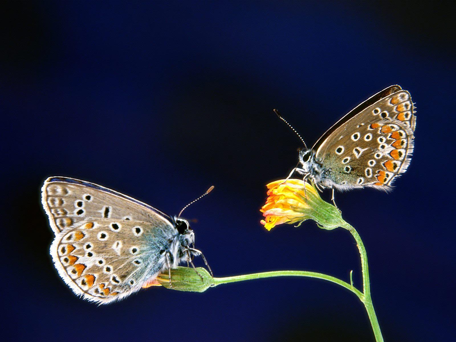 Lemon Pansy Butterflys1