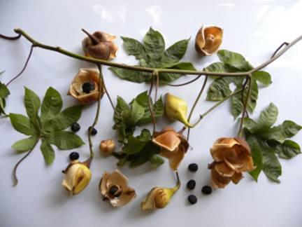 merremia tuberosa flowers,fruits and seeds