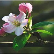 Apple Blossom in Asturias