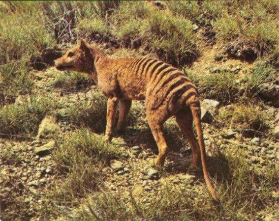 Lobo marsupial