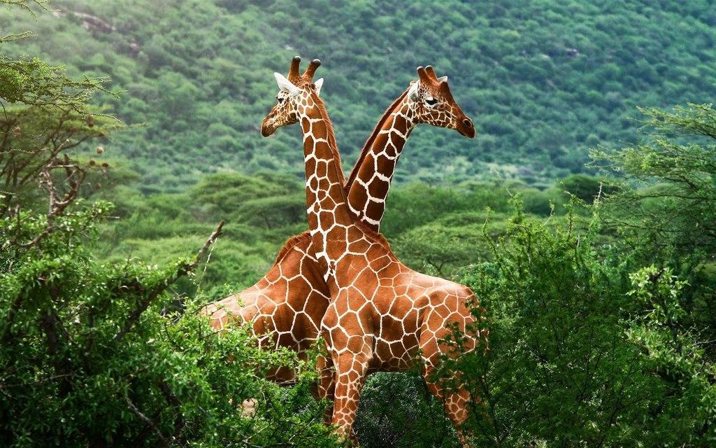 Jirafas En La Sabana En Su Habitat Natural Paisajes De Africa Animales Enormes