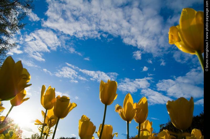 Normal Tulipes Jaunes Sous Ciel Bleu