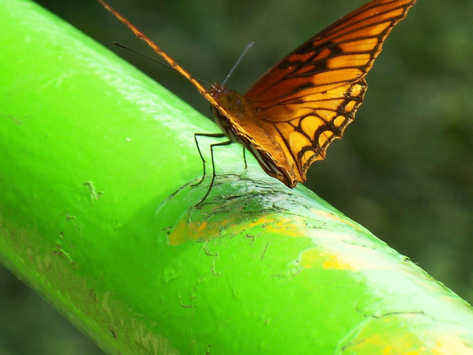 Mariposas0005