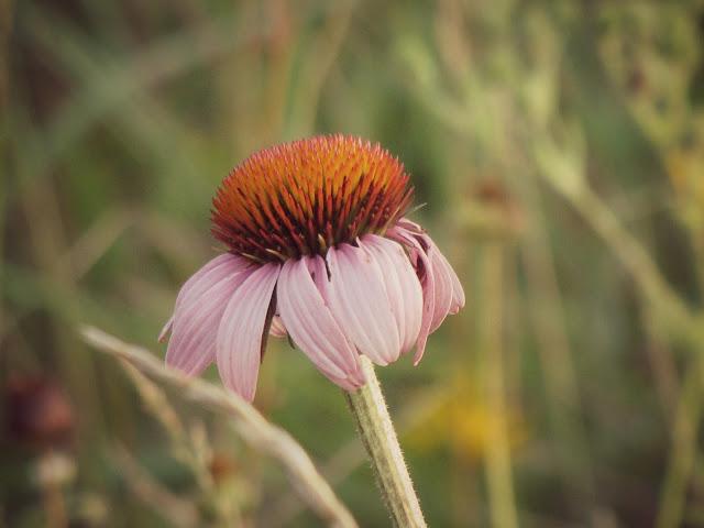 Echinacea 070312