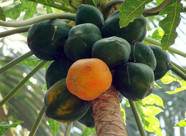 Arbol de papaya