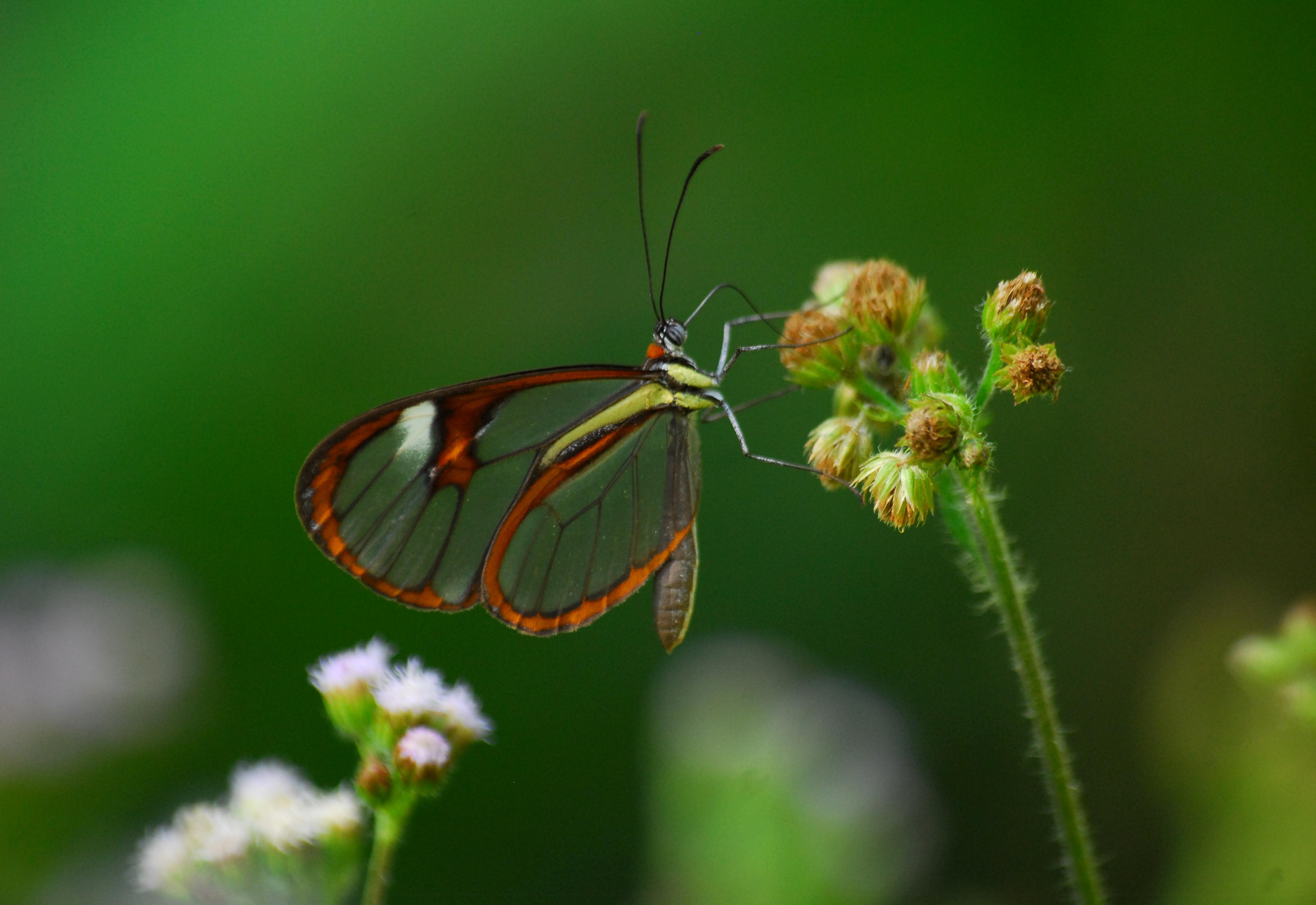 Mariposa Trasnparent Fede