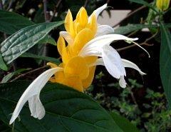 Fleurs Exotiques Pachystachys Lutea