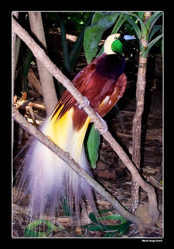 Medium Bali Oiseau Paradis