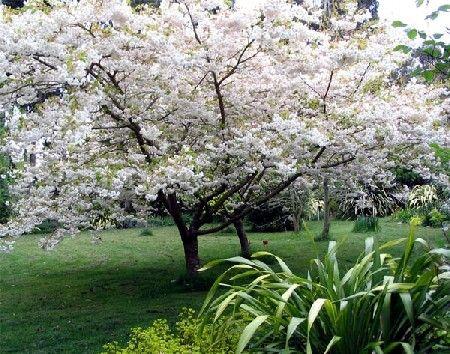 Thumb Le Cerisier Du Japon Un Magnifique Arbre D Ornement 3798