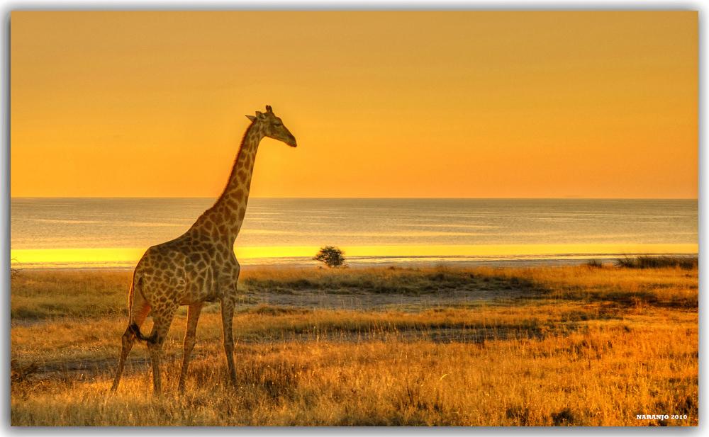 Memorias De Africa Atardecer Con Jirafa Ethosa Namibia A20991711