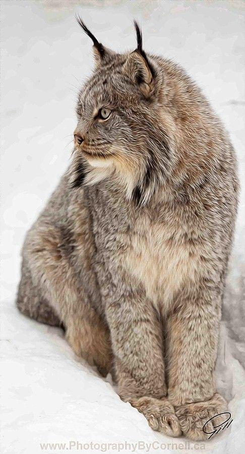 Le lynx de Sibérie