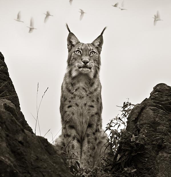Lynx - Beqbe.com
