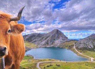 15081291 Vaca En Los Lagos De Covadonga En Asturias Espana