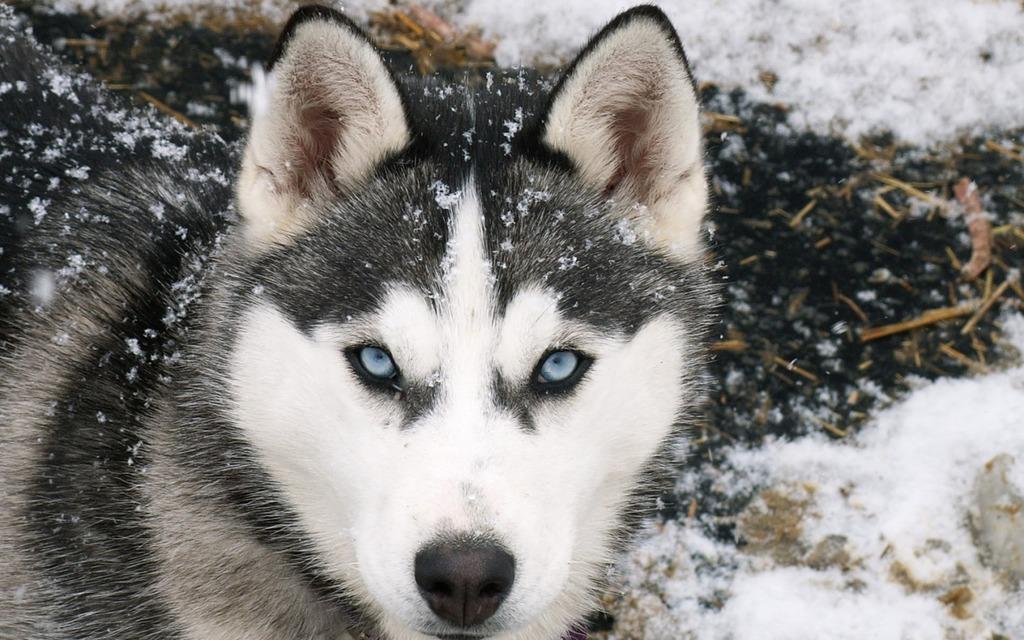 Husky Siberiano Jpg