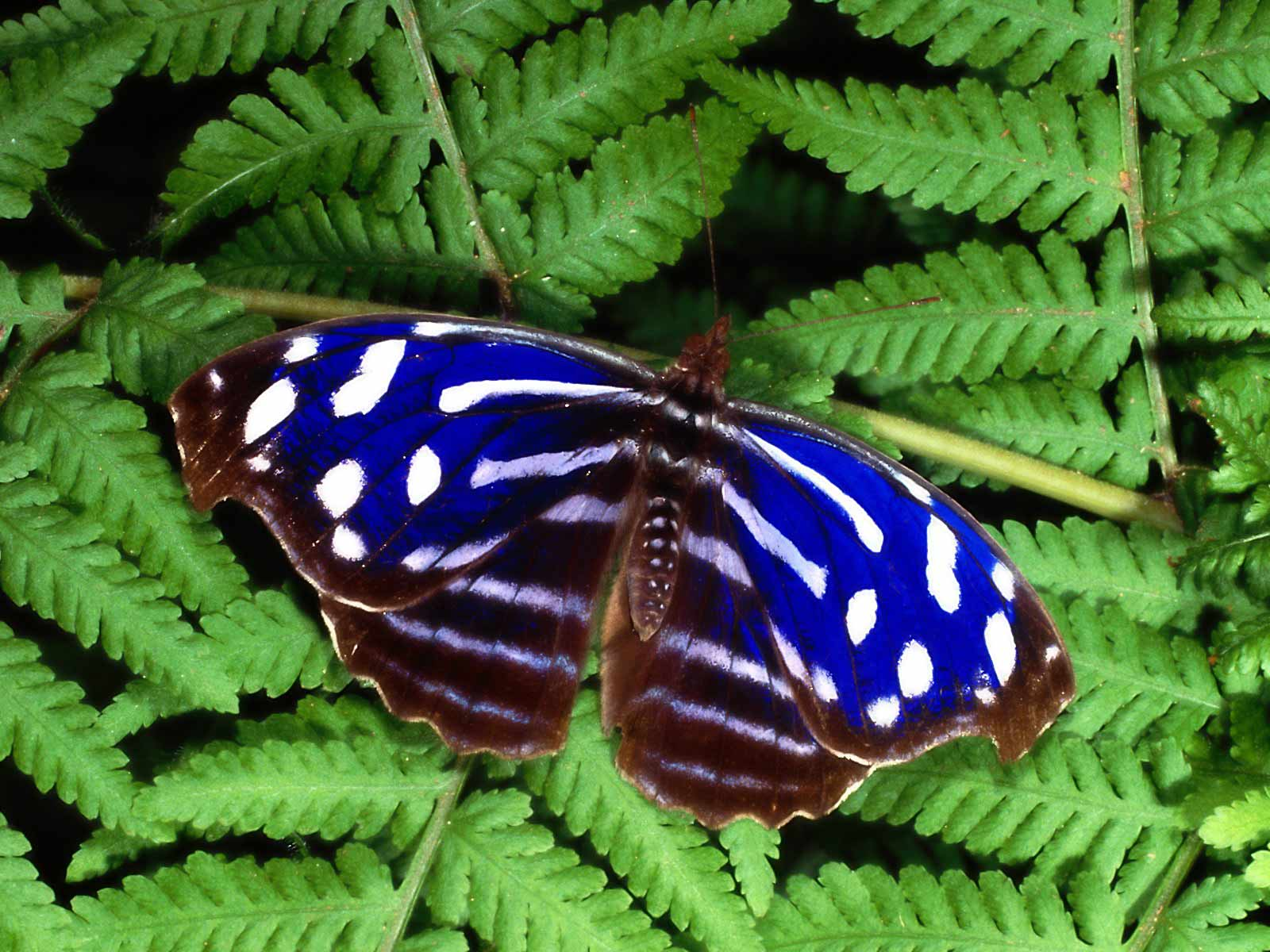 Timber Butterfly