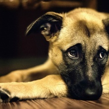 Como Saber Si Tu Perro Esta Triste