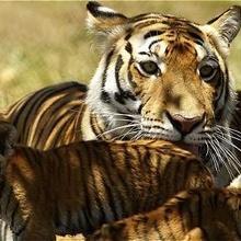 Solo quedan 3.200 tigres en libertad