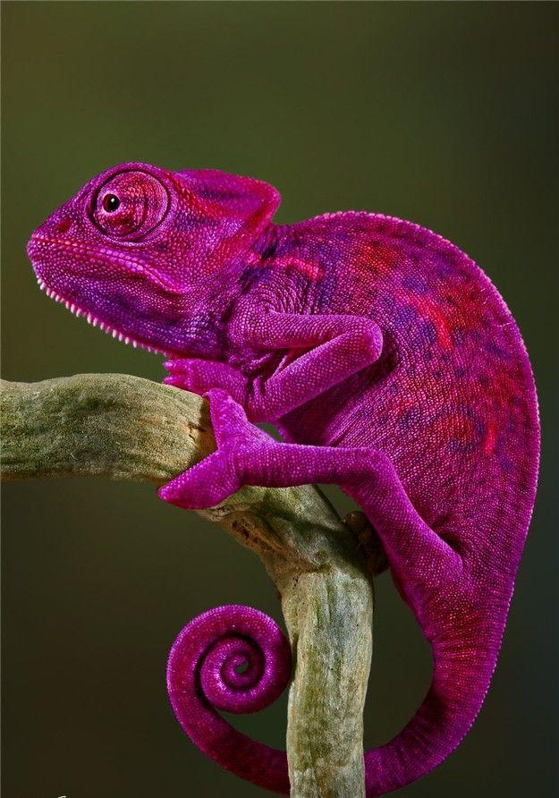 Chamaeleonidae Site Beqbe