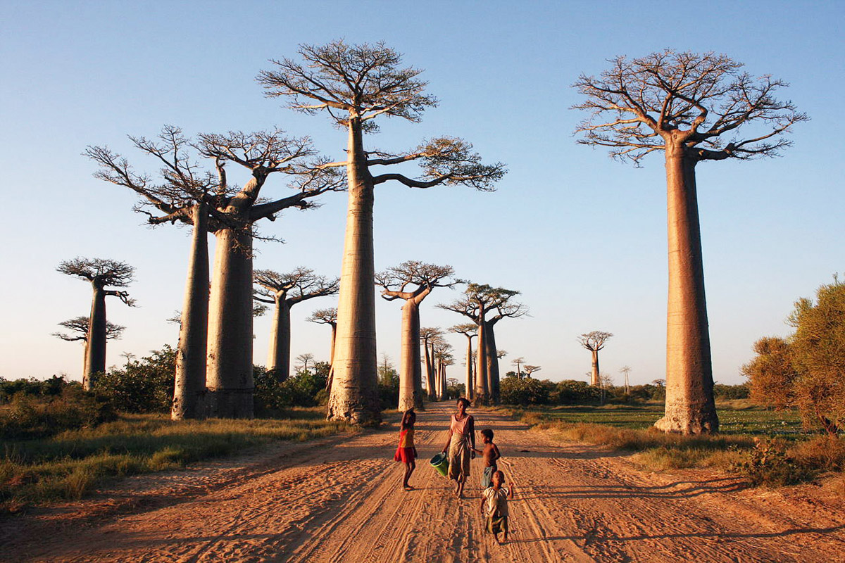 Avenida de los Baobab: El árbol de la vida
