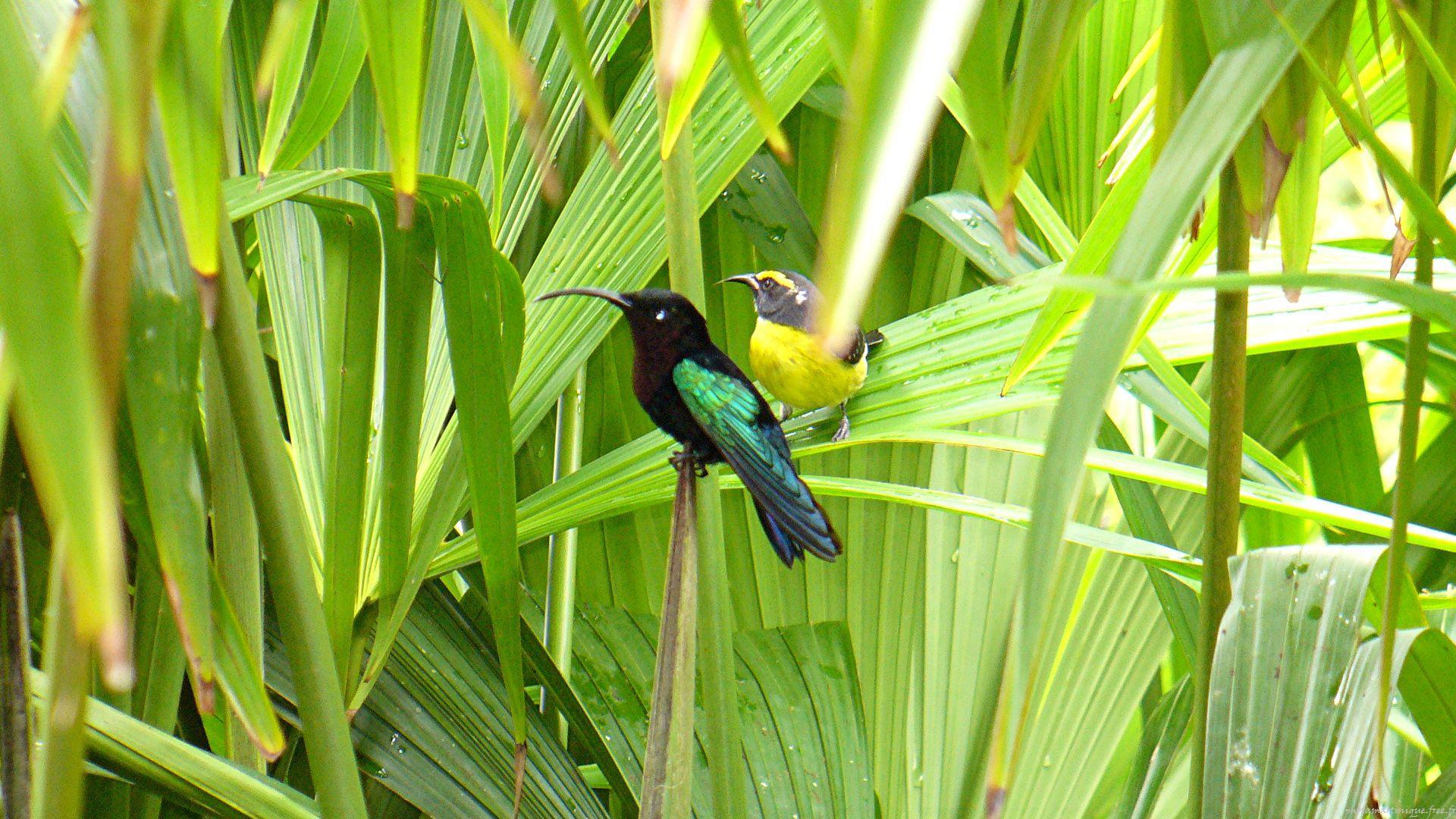 Photo Animaux Martinique Oiseaux Colibri Sucrier