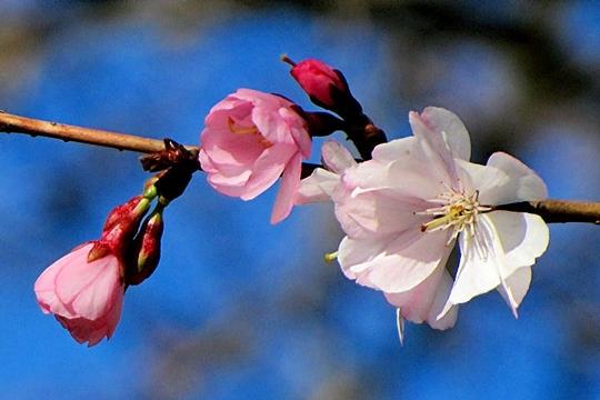 Cerisier Japon 573118