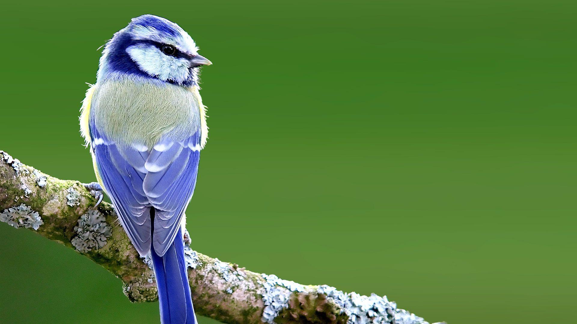 la mésange bleue© Luc Viatour,