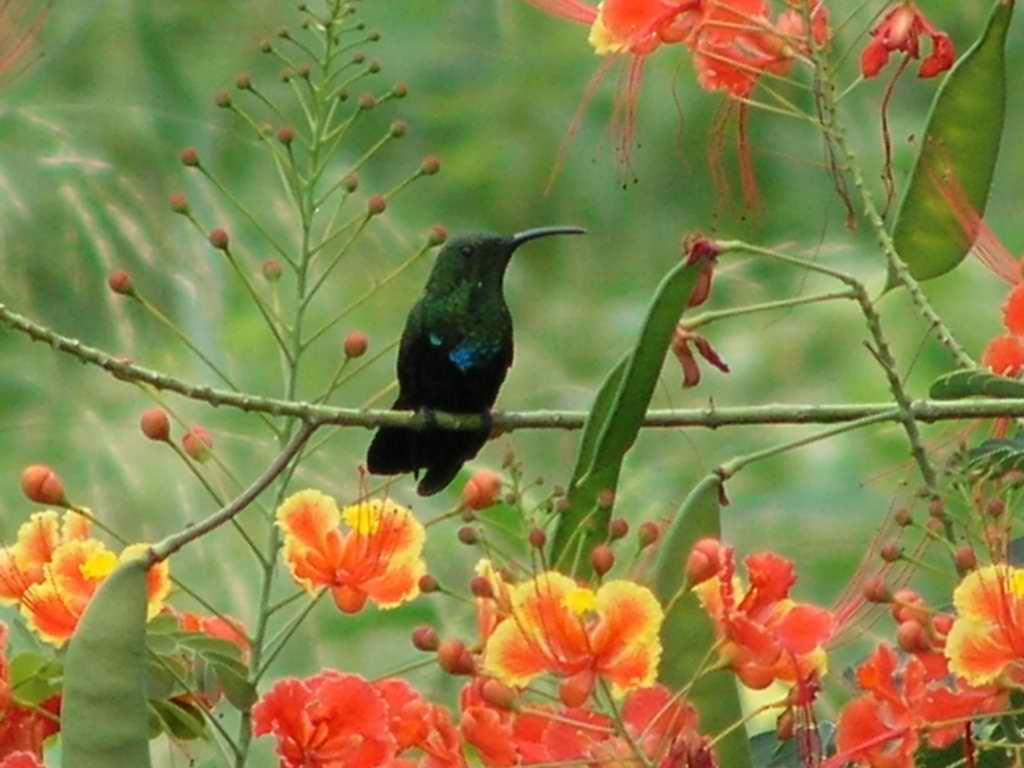 Colibri Madere Eulampis Jugularis 1