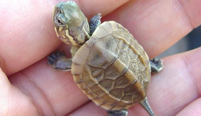 Criar Tortugas