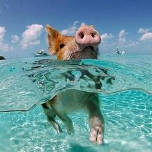En las Bahamas los cerdos nadan!