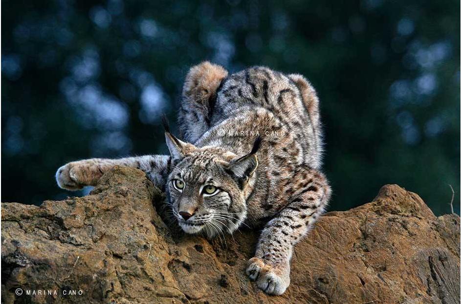 Lynx - Beqbe