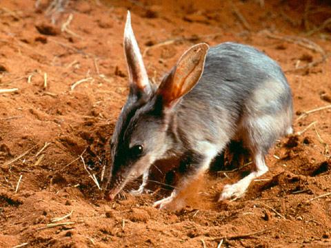 Bandicut conejo