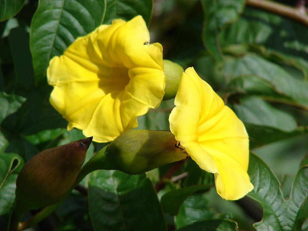 merremia tuberosa flowers