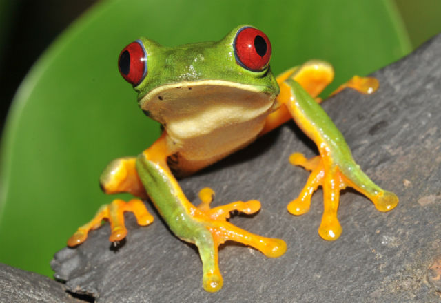 Grenouile Yeux Rouge Costa Rica