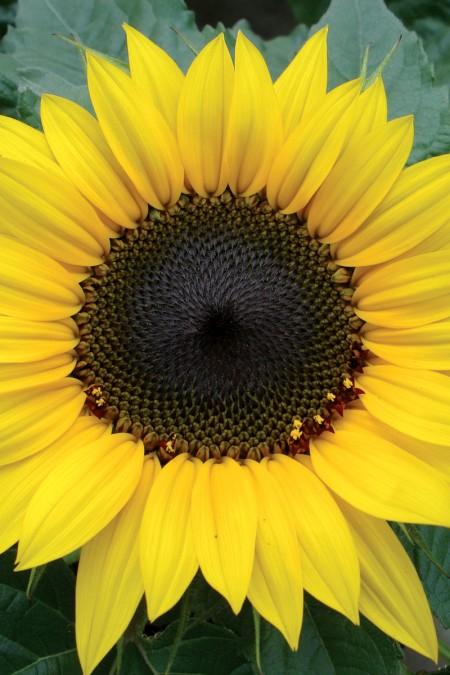 Helianthus annuus _Choco sun
