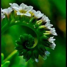 Spirales Botaniques.