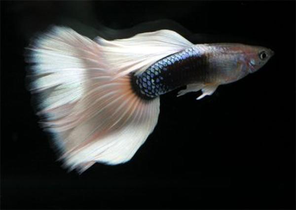 Guppy Fish Profile