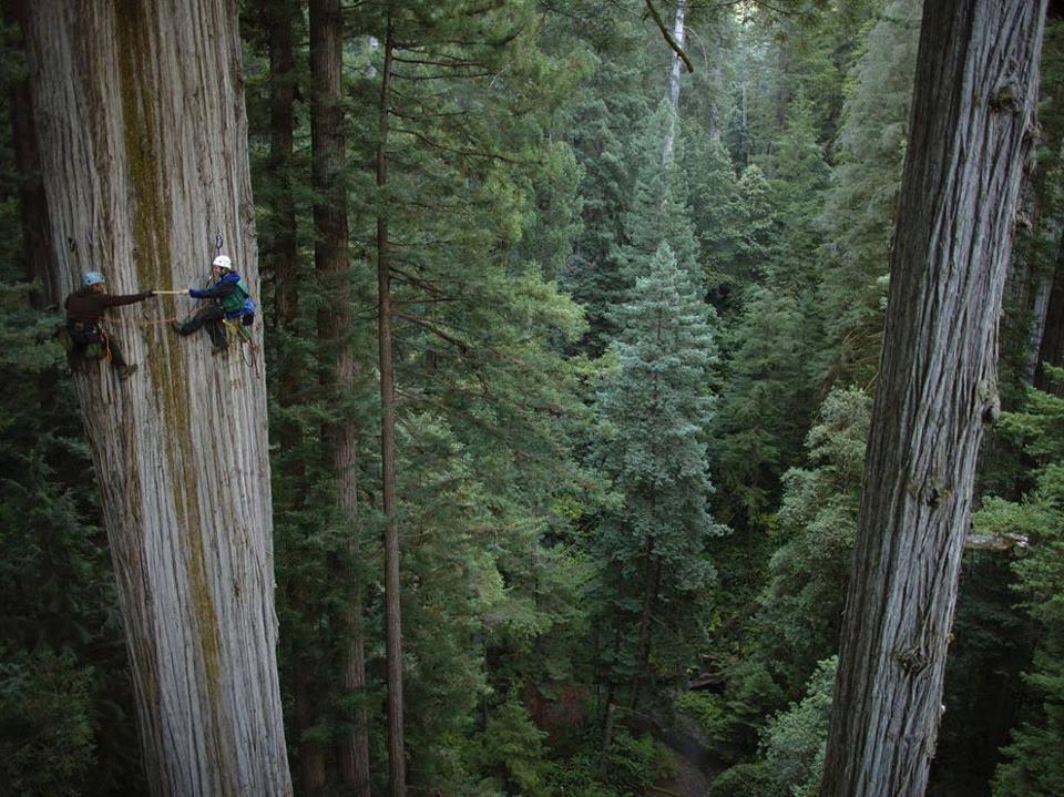 Redwood Tree California