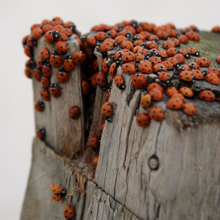 Ladybirds Moving To The Seaside In Blokhus