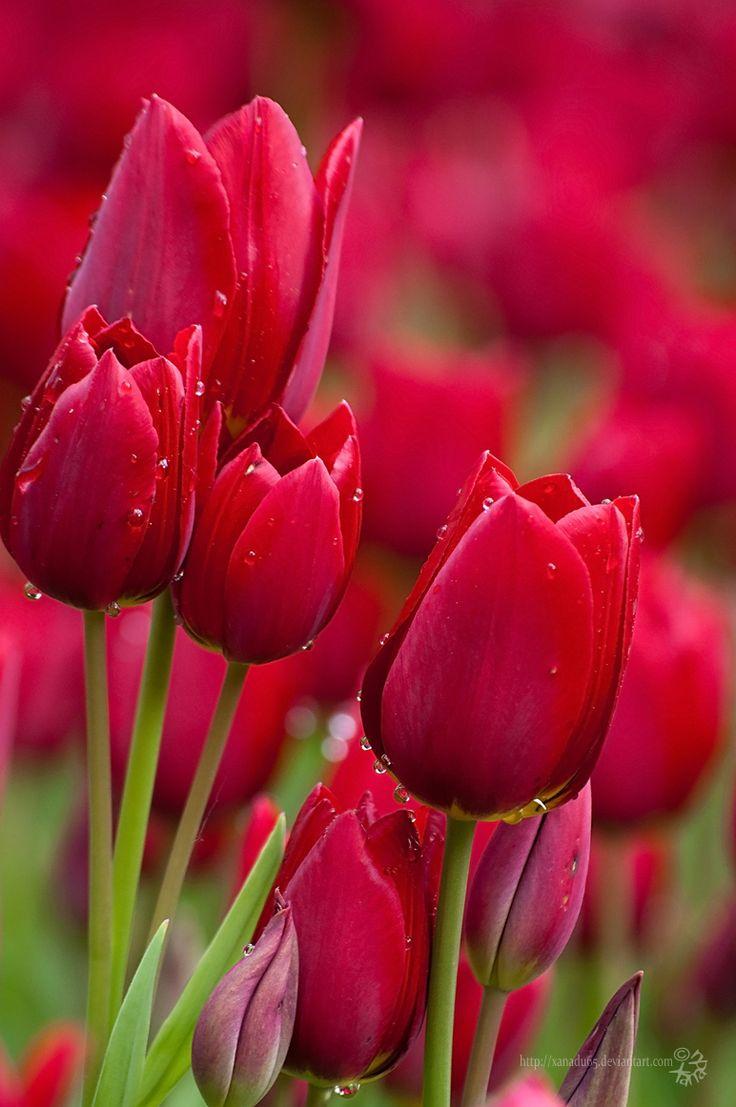 Tulipe - www.beqbe.com
