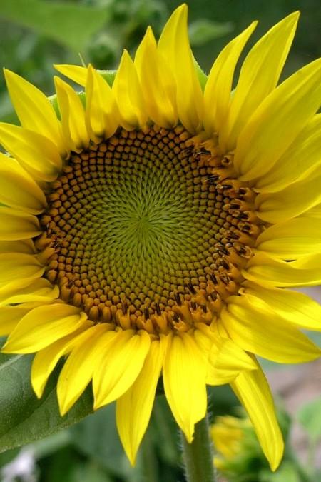 Helianthus hybridus_Sunbeam