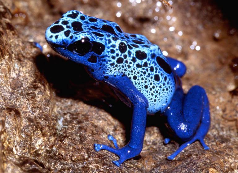 Grenouille Dendrobate Bleue Azureus Amphibien Toxine Alimentation Maintien Captivitenac Animal Animaux Compagnie Animogen 3