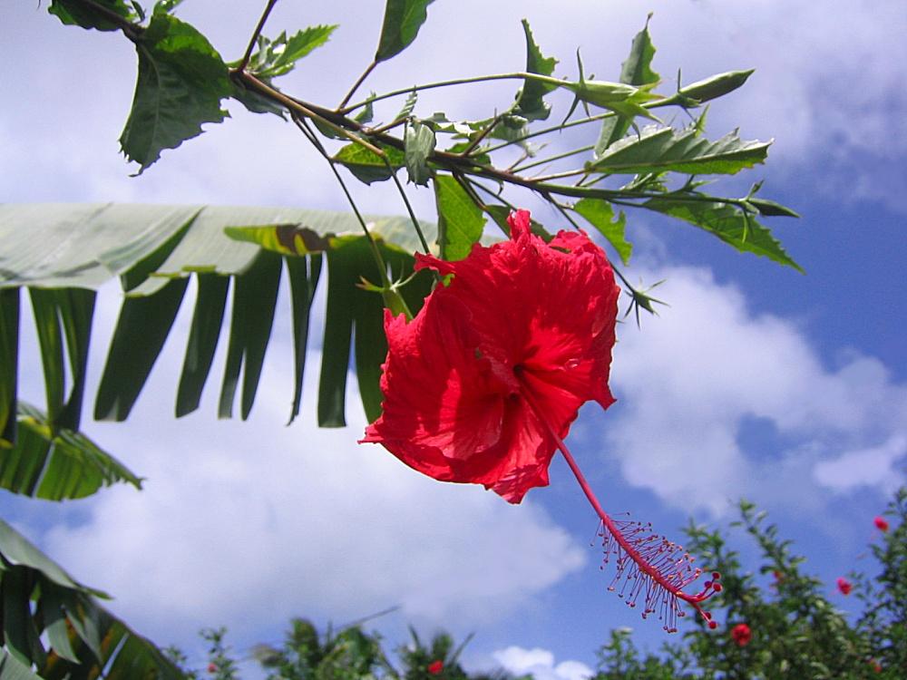 Fleur Hibiscus