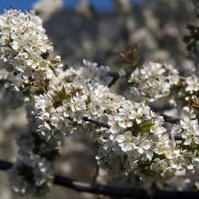 Las cerezas del Valle de las Caderechas.