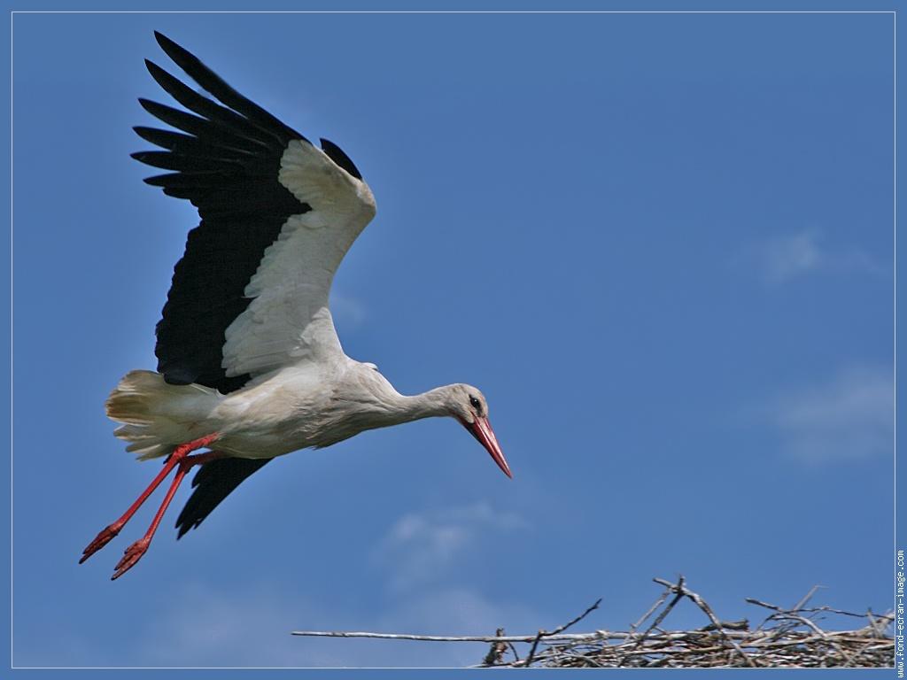 Oiseau Cigogne 059 1024 Retouche