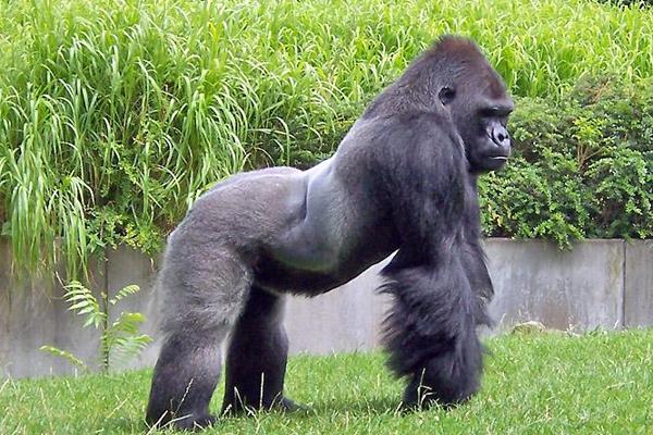 Gorilas1