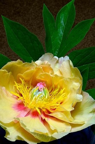 "Pivoine ""Garden Treasure"""