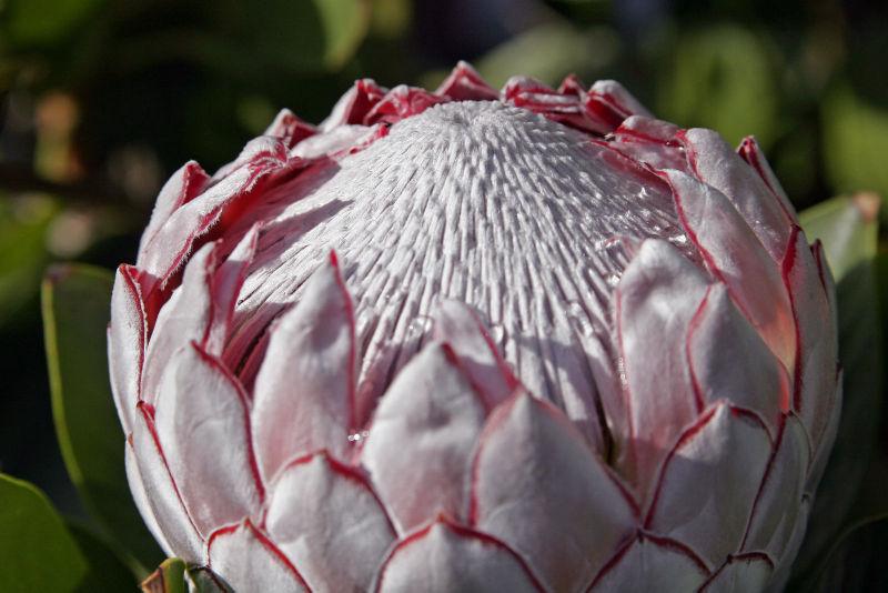 The king protea(Protea_cynaroides)