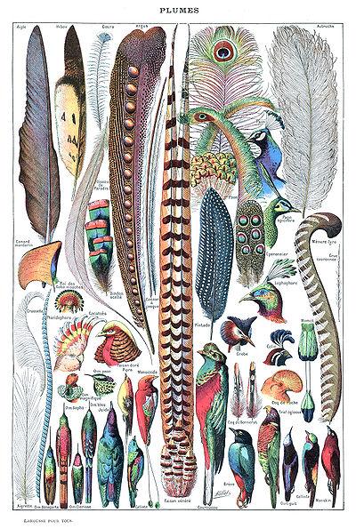 Plumes. Illustré par Adolphe Millot dans Larousse pour tous
