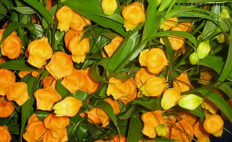 Chinese Lantern Lily Christmas Bells Sandersonia Aurantiaca Q