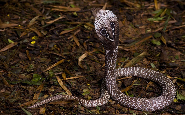 Cobra de anteojos